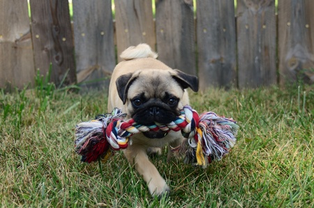 Playful pug running with a chew toy photo