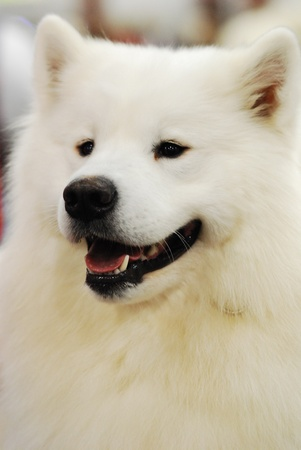 pure bred: a white fluffy pure bred samoyed show dog