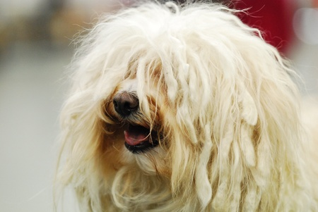 corded: a corded Havanese dog that can not see.