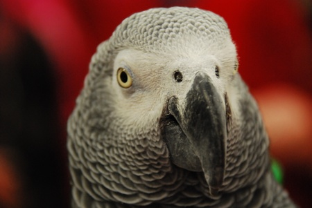 squawk: A pet african grey on a red vibrant background Stock Photo