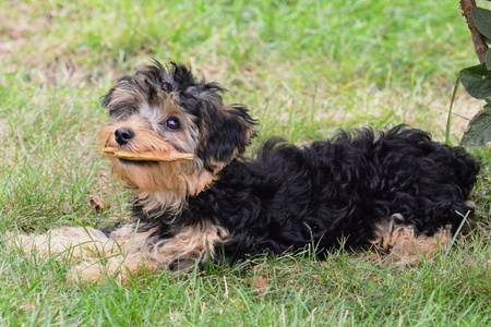 poodle mix: a cute pupy yorki  poodle mix sitting in the grass Stock Photo