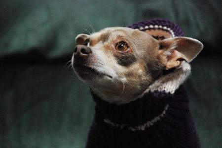 tortured: Chihauhau with a purple sweater