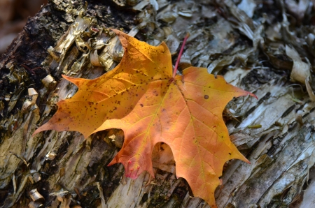 Fall leaf on a birch tree Stock Photo - 19487145