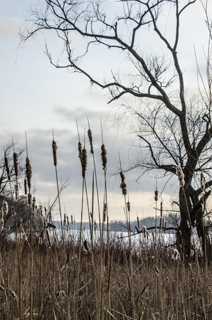 cattails: Tree by a pond with cattails