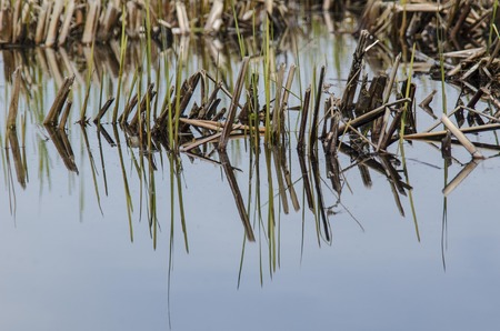 wetland conservation: Sticks and plants in Wisconsin Marshland Stock Photo