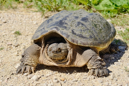 snapping turtle: Full view of snapping turtle