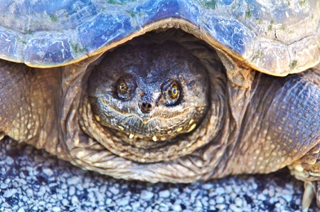 federally: Close up of a snapping turtle Stock Photo