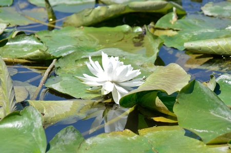 federally: Lily in wetland