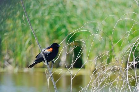 federally: Red Wing Black Bird in Marsh