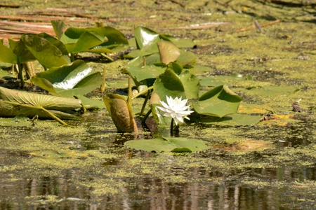 budgets: Lily blooming at Horicon Marsh