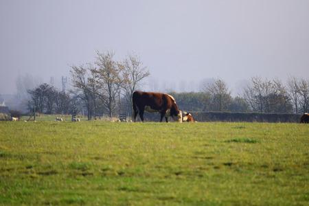 grazing: Cow Grazing in Field Stock Photo