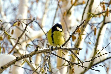 Little bird - titmouse
