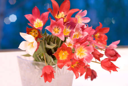 Bunch of wild tulips on white background Stock Photo