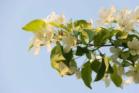 A branch of apple tree in spring blossom with tender flowers and petal