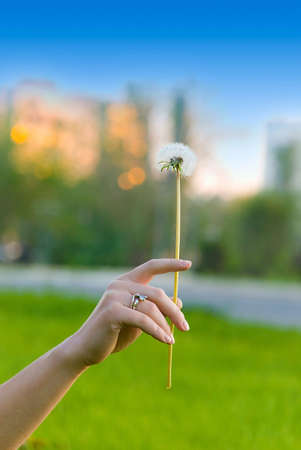 Beautiful vibrant dandelion in hand of a girl in green grass