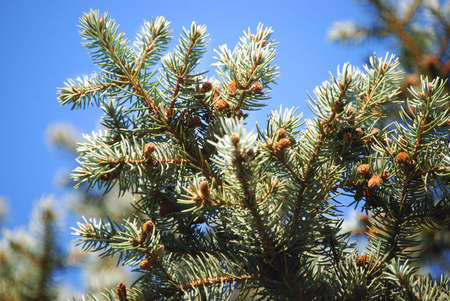 Bright green branches of fur tree or pine-tree