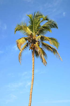 Single standing green palm tree over blue sky background