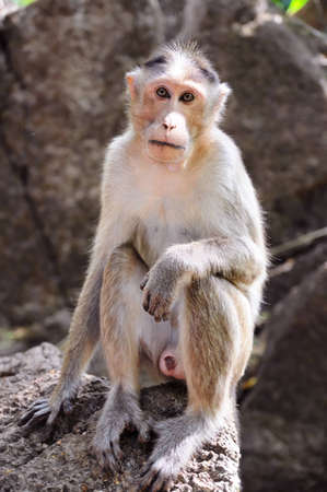 Wild baby-monkey sitting on stone and looking directly into the camera Stock Photo