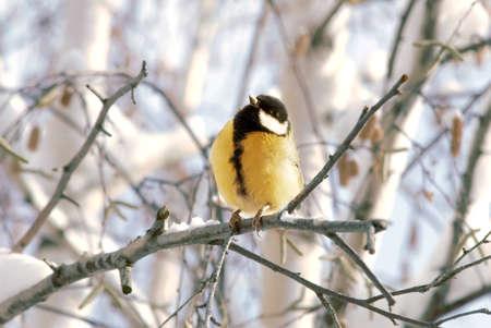 Little bird titmouse