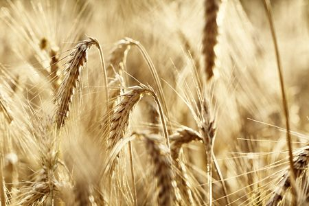 close up view of the golden grain ears Stock Photo - 5299720