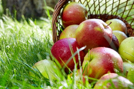 Apples in the Basket. Stock Photo - 9676923