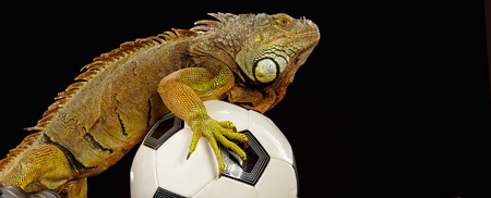Iguana in football concept Stock Photo - 10445745