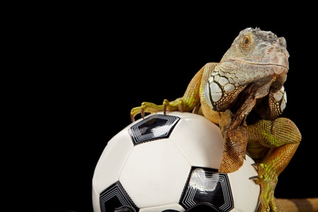 Iguana in football concept Stock Photo - 10445734