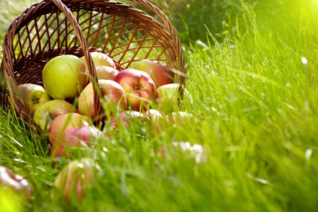 apple in garden  photo