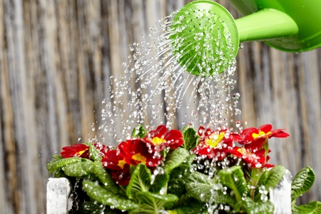 flower close up: Close up on water pouring from watering can onto blooming flower bed