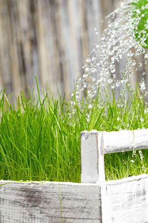 Green  watering can used to water the  frash grass  photo
