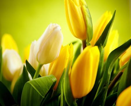 tulipan: Żółte i białe kwiaty tulipan z zielonej przestrzeni kopii