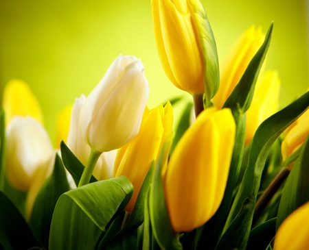 Yellow and white  tulip flowers with green  copy space  photo