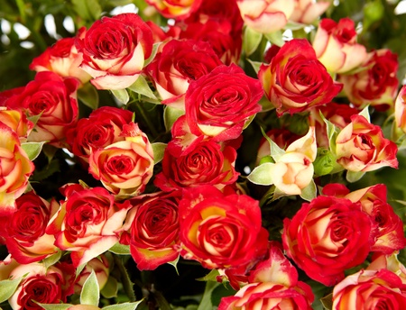 bunch of red roses on white background - flowers and plants Stock Photo - 13091036