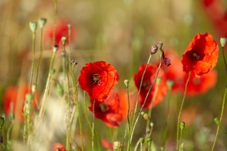 opium poppy: Field of poppies