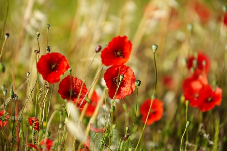 Field of poppies  Stock Photo - 14074342