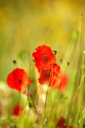 Field of poppies Stock Photo - 14074346