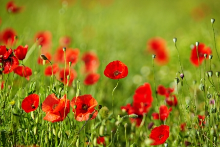 Field of poppies Stock Photo - 14074349