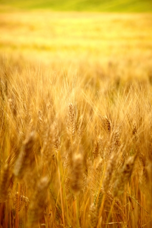 Gold wheat  Stock Photo - 14074337