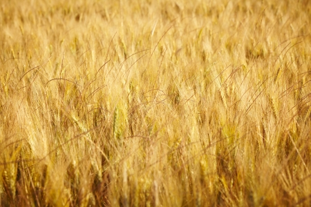 afield: Gold wheat  Stock Photo