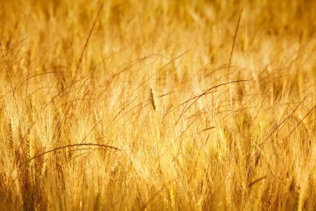 Gold wheat  photo