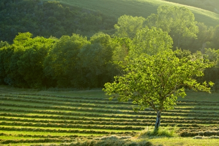 one tree in a green field - typical tuscan landscape  photo