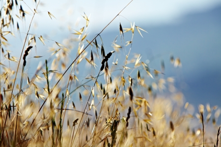Rural landscape with wheat field photo