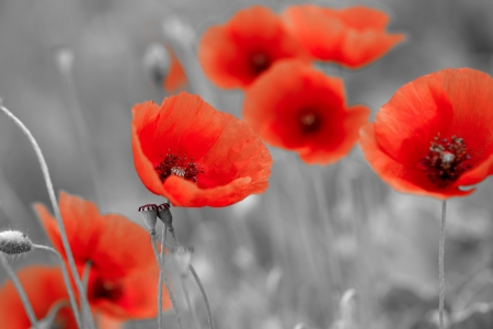 poppy field: red poppies on bw field Stock Photo