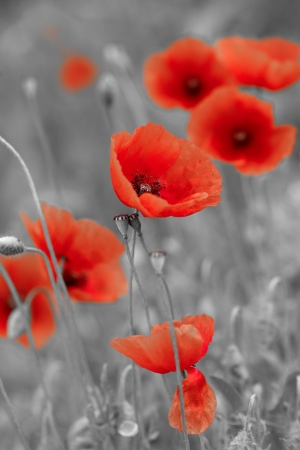 red poppies on bw field photo
