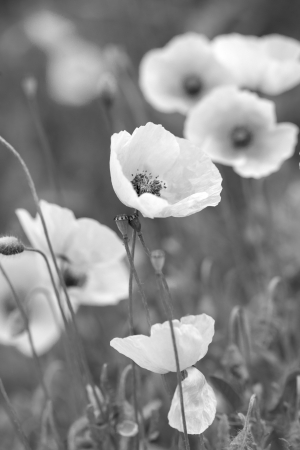 White poppies on bw field photo