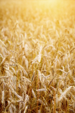 Golden sunset over wheat field. Shallow DOF, focus on ear  photo