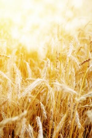 Golden sunset over wheat field. Shallow DOF, focus on ear  photo