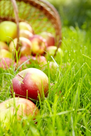 apple orchard: Healthy Organic Apples in the Basket.