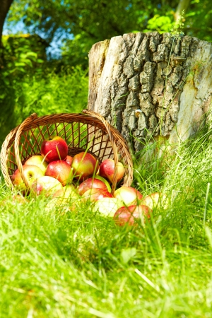 Healthy Organic Apples in the Basket Stock Photo - 19753917