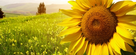 sunflower field: landscape with sunflowers in Tuscany, Italy  Stock Photo